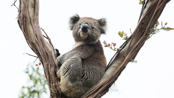 Congrats on Your 'Koala-fication'