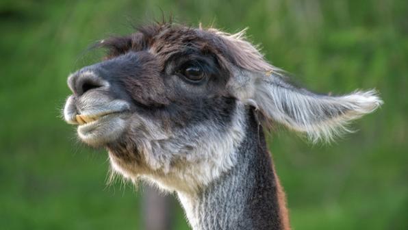 Congrats on Your 'Dip-llama'